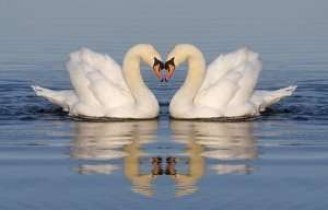 two-swans-floating-head-to-head
